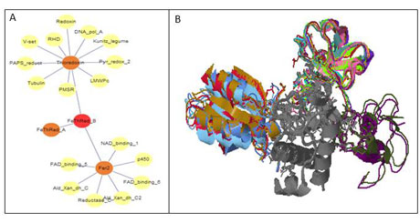 Figure 1: Kbdock answers for a given domain (PF02943: FeThRed_B or Ferredoxin-Thioredoxin Reductase beta chain): (A) the graph of DDIs around this domain in Kbdock (depth = 2); (B) the superposed 3D DDI instances involving this domain.