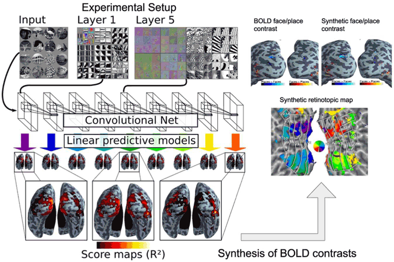 Figure 1: Convolutional network image representations of different layer depth explain brain activity throughout the full ventral visual stream.  This mapping follows the known hierarchical organisation.  Results from both static images and video stimuli.  A model of brain activity for the full brain, based on the convolutional network, can synthesise brain maps for other visual experiments. Only deep models can reproduce observed BOLD activity.