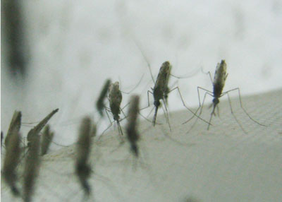 "Mosquitoes from an Anopheles gambiae laboratory colony, ""resting"" in the authors' laboratory."