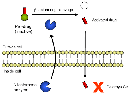 Figure 1: Simple schematic representation of activation of pro-drug molecule as a result of cleavage by a b-lactamase enzyme (blue) released by the bacterial cell. Activation results in the release of the active anti-microbial component (red) which enters the cell and destroys it.