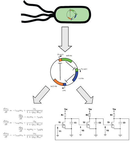 Figure 1: Genetic networks in living cells can firstbe identified with molecular genetics techniques. Once the network is identified a mathematical model is developed and analysed  using nonlinear dynamics methods and electronic modelling.