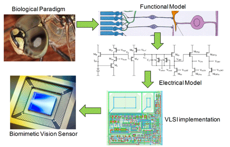 Figure 1. Biology guides vision and image sensor development.