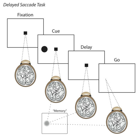 Figure 1: Delayed Saccade Task (Source: CWI)
