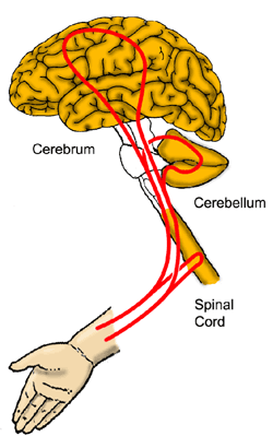 Figure 1: A simplified view of motor control loops of the hand arm system: It contains at least three cascaded feedback loops, involving the spinal cord, the cerebellum, and motor centra in the cerebral cortex.