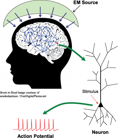 Figure 1: propagation of RF waves to a neuron. The generated EM waves near the head propagate to the brain through the skull. Neurons in the network could be stimulated, and the action potential occurring on the membrane potential of neurons could be affected.