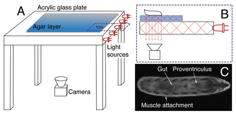 Figure 2: a) System overview: Light sources are integrated into the tracking stage, which is covered by an agar layer. The camera captures the reflected light from underneath.  b) FTIR principle: Light (red lines) passes from the glass into the agar and is frustrated at the agar/larva contact area, where it can pass through the layers and is captured by the camera.  c) Resultant image of a single larva: Several internal organs are highlighted.